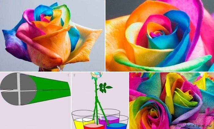Живая радужная роза своими руками