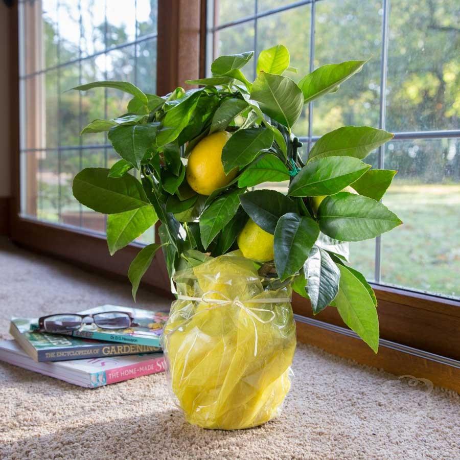 Лимонное дерево в подарок